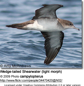 Wedge-tailed Shearwater (light morph)