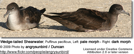 Wedge-tailed Shearwater, Puffinus pacificus, Left: pale morph - Right: dark morph