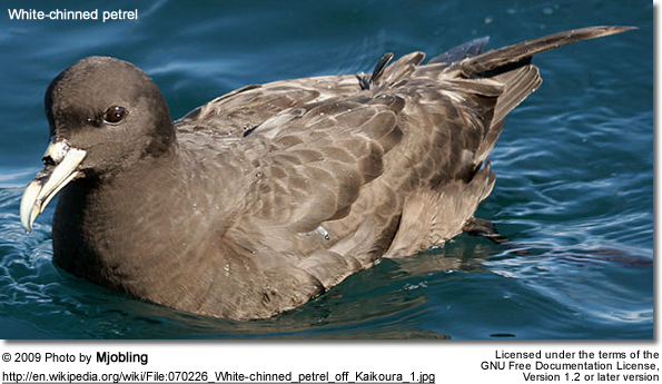 White-chinned petrel off Kaikoura