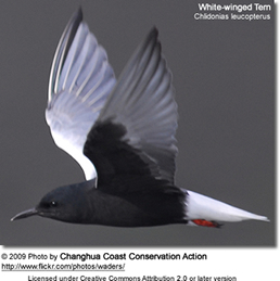 White-winged Tern or White-winged Black Tern (Chlidonias leucopterus)