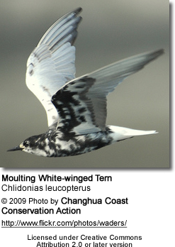 Molting White-winged Tern