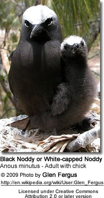 Black Noddy, Anous stolidus, with chick.