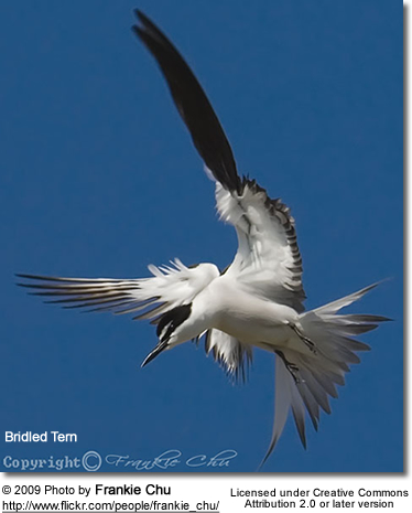 Bridled Tern (Onychoprion anaethetus, formerly Sterna anaethetus - see Bridge et al., 2005)
