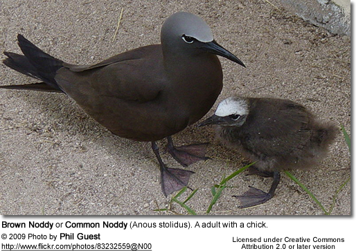 Brown Noddy or Common Noddy (Anous stolidus). A adult with a chick