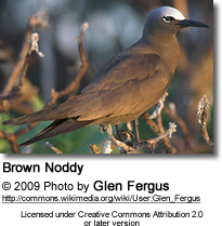 Brown Noddy