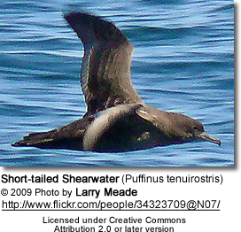 Short-tailed Shearwater (Puffinus tenuirostris)
