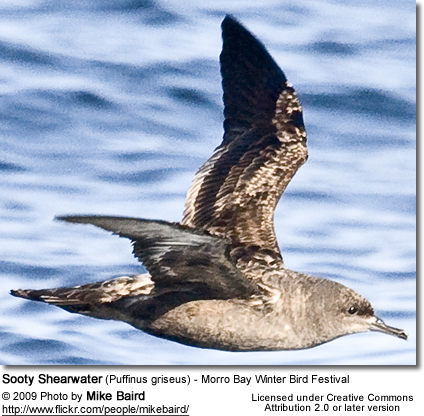 Sooty Shearwater (Puffinus griseus) - Morro Bay Winter Bird Festival