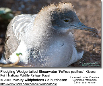 "Fledgling Wedge-tailed Shearwater ""Puffinus pacificus"" Kilauea Point National Wildlife Refuge, Kauai"
