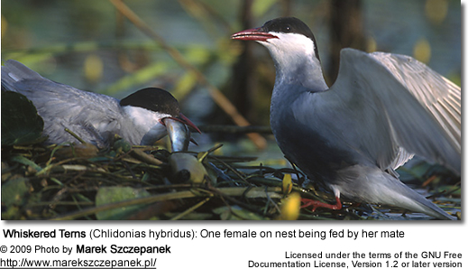 Whiskered Terns (Chlidonias hybridus): One female on nest being fed by her mate