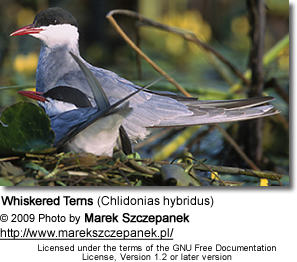 Whiskered Terns (Chlidonias hybridus)