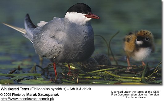 Whiskered Terns (Chlidonias hybridus) - Adult and chick
