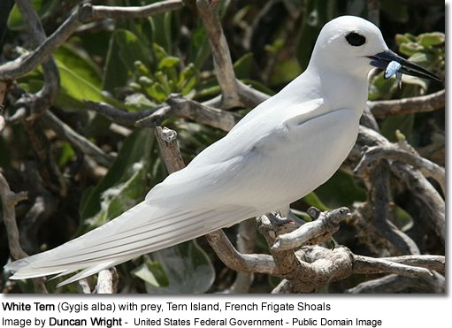 White Tern (Gygis alba) with prey, Tern Island, French Frigate Shoals