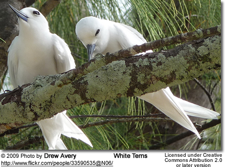 White Terns or Fairy Terns
