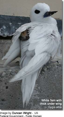 White tern with chick under wing