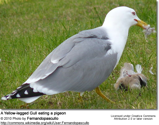 Yellow-legged Gull eating a pigeon