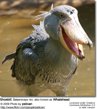 Shoebill, Balaeniceps rex, also known as Whalehead