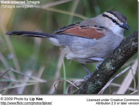 Black-crowned Tchagra