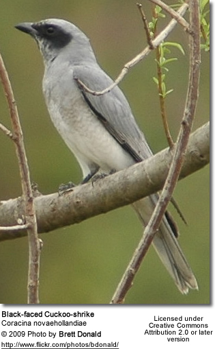 Black-faced Cuckoo-shrike