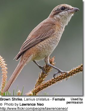 Female Brown Shrike