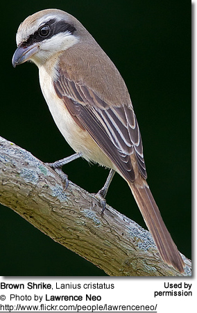 Brown Shrike eating insect