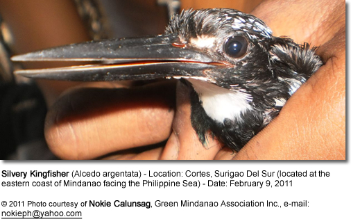Silvery Kingfisher (Alcedo argentata) - Location: Cortes, Surigao Del Sur (located at the eastern coast of Mindanao facing the Philippine Sea) - Date: February 9, 2011