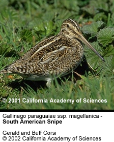 South American Snipes