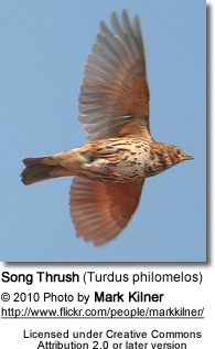 Song Thrush (Turdus philomelos) - in flight
