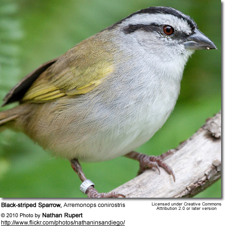Black-striped Sparrow