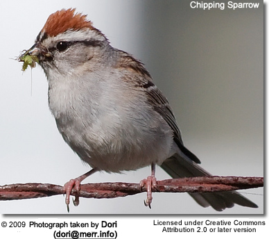 Chipping Sparrow with insect in its beak