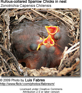 Rufous-collared Sparrow Chicks in nest