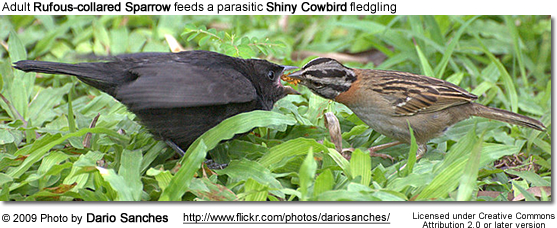 Adult Rufous-collared Sparrow feeds a parasitic Shiny Cowbird fledgling