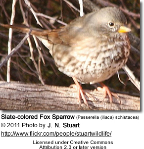 Slate-colored Fox Sparrows