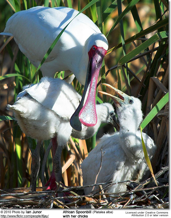 African Spoonbill (Platalea alba) - with her chicks on nest