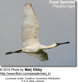 Royal Spoonbill, Platalea regia, also known as the Black-billed Spoonbill