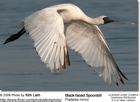 Black-faced Spoonbill (Platalea minor) in flight