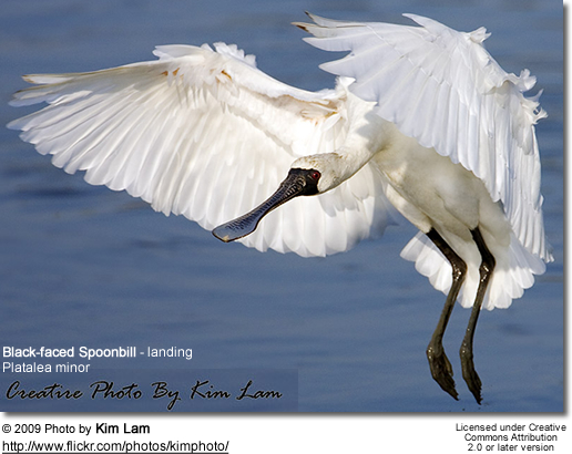 Black-faced Spoonbill (Platalea minor) - landing