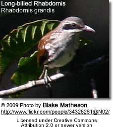 Long-billed Rhabdornis (Rhabdornis grandis)