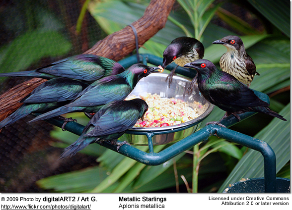 Metallic Starling, Aplonis metallica