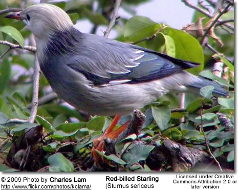 Red-billed Starling