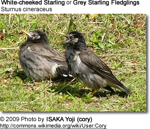 Grey-cheeked Fledglings