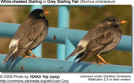 Grey Starling Pair