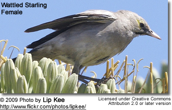 Female Wattled Starling