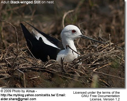 Black-winged Stilt on nest