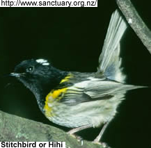 Stitchbird or Hihi