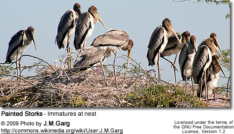 Painted Storks - Immatures at nest