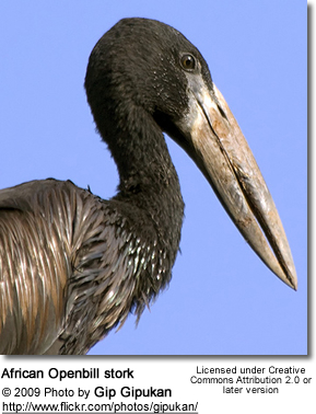African Open-billed Stork
