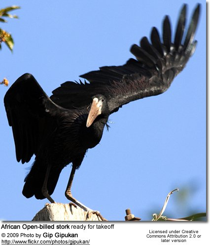 African Openbill ready for takeoff