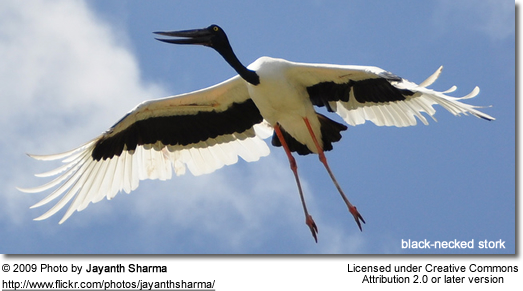 Black-necked Stork in flight