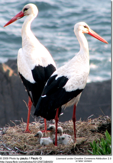 White Stork parent with chicks