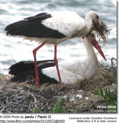 Mated White Storks building a nest